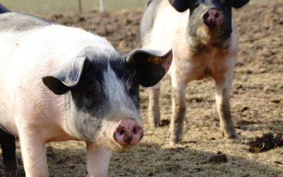 Führung auf die Schweineweide