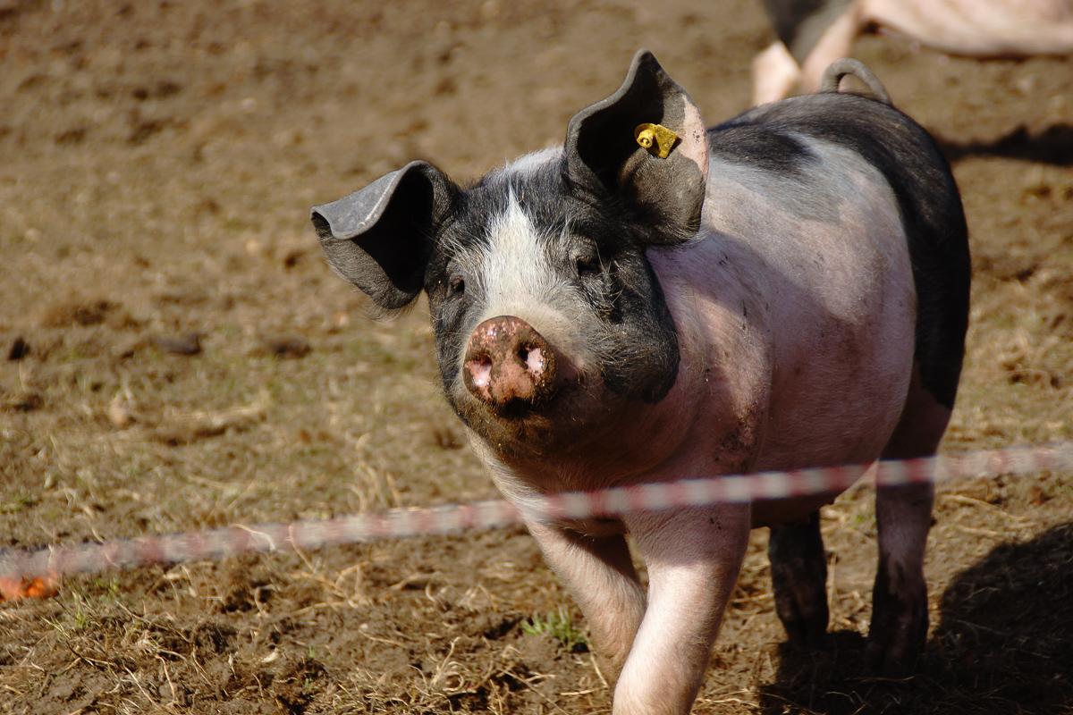 Biohof Hubicek Führung Schweine 03