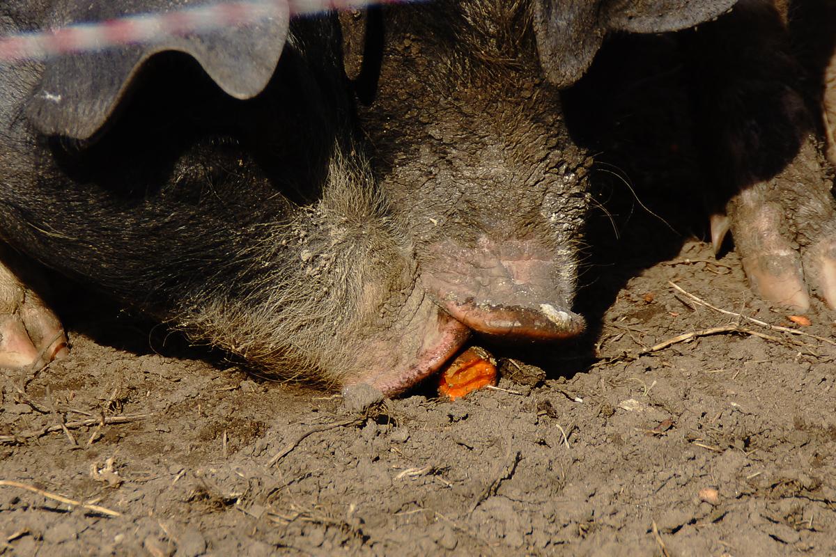 Biohof Hubicek Führung Schweine 04