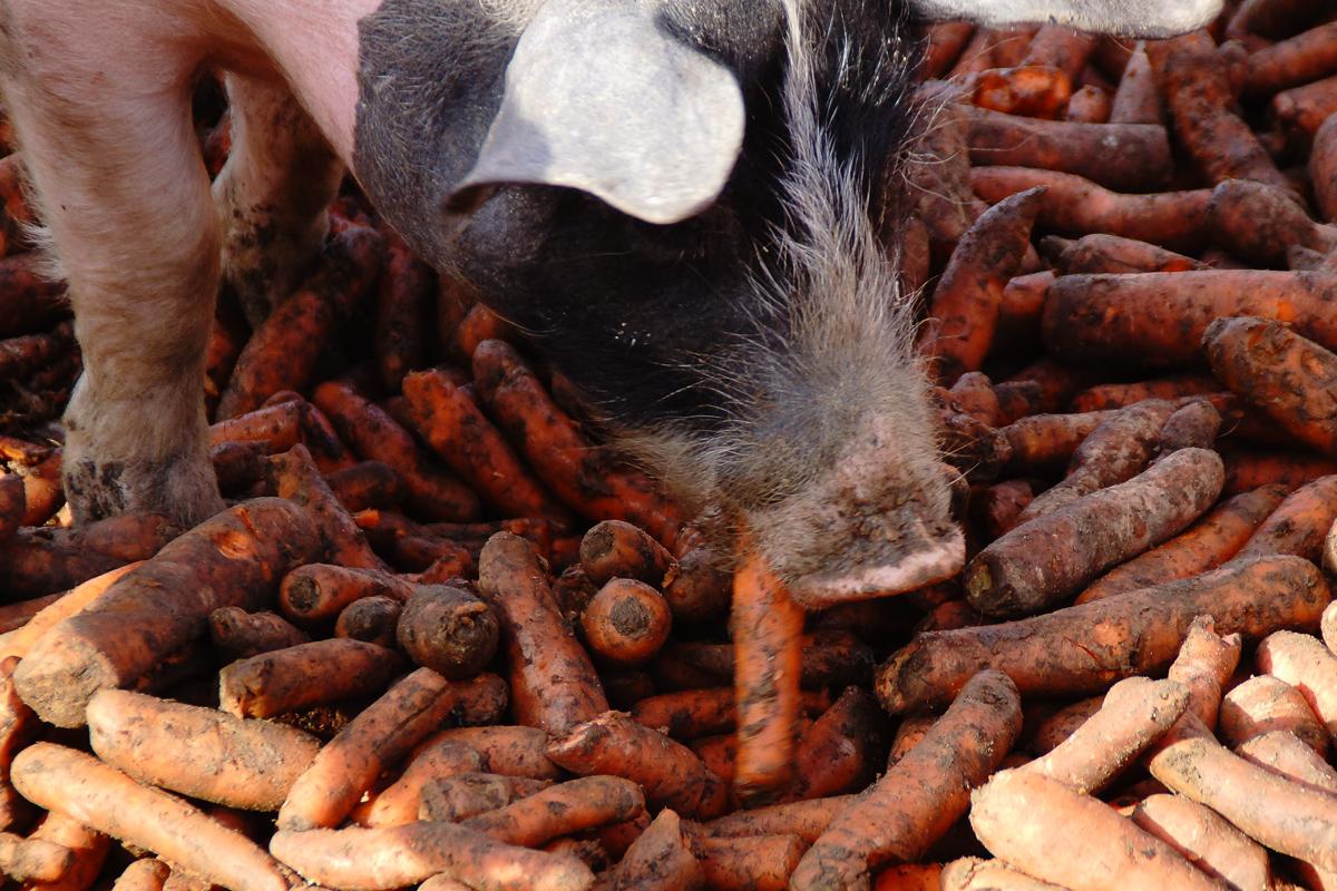 Biohof Hubicek Führung Schweine 06