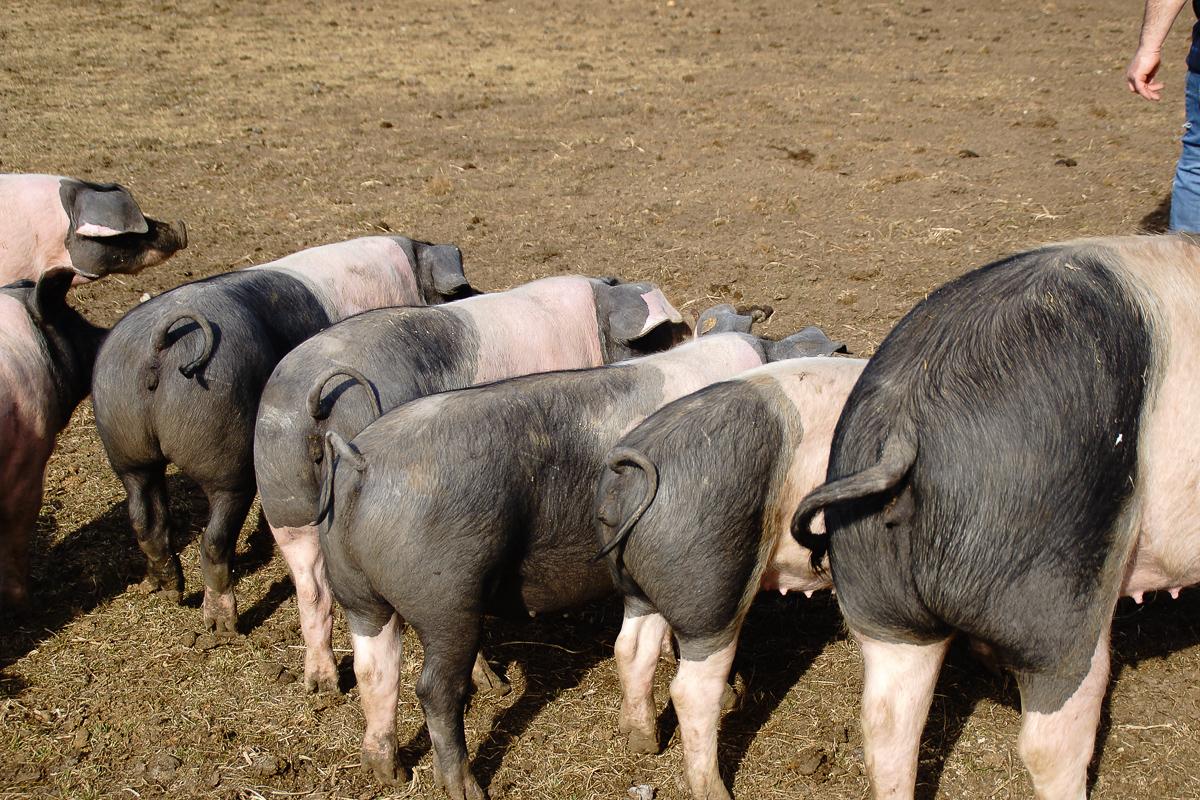 Biohof Hubicek Führung Schweine 11