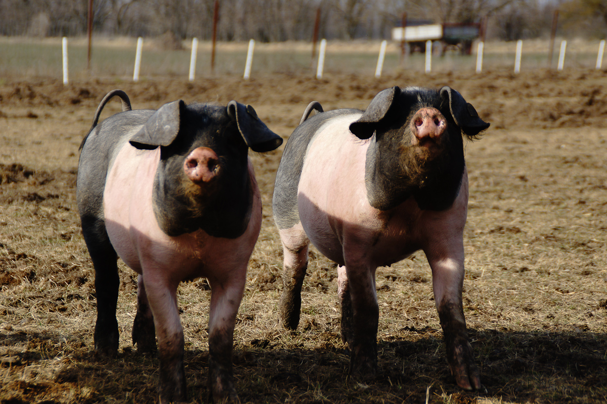 Biohof Hubicek Führung Schweine 14