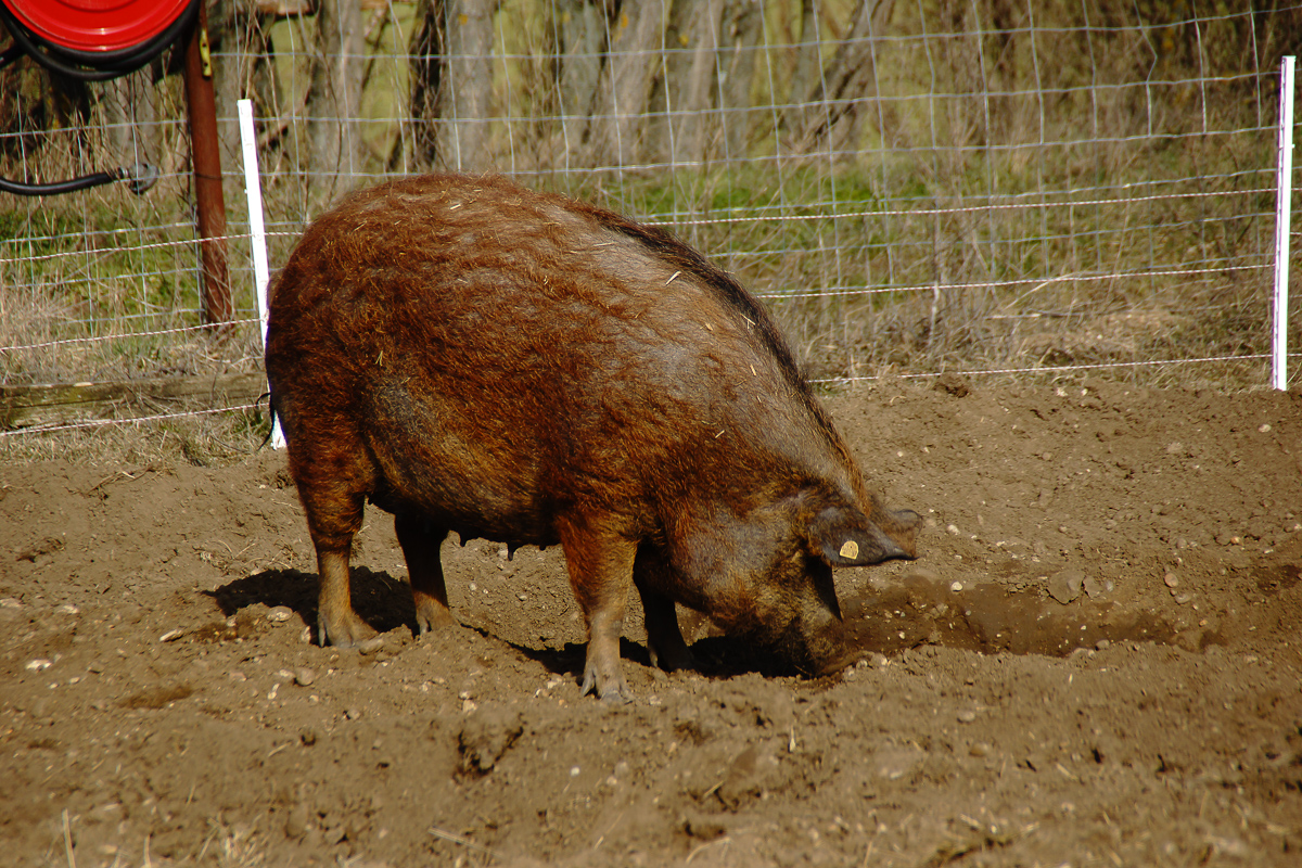 Biohof Hubicek Führung Schweine 18