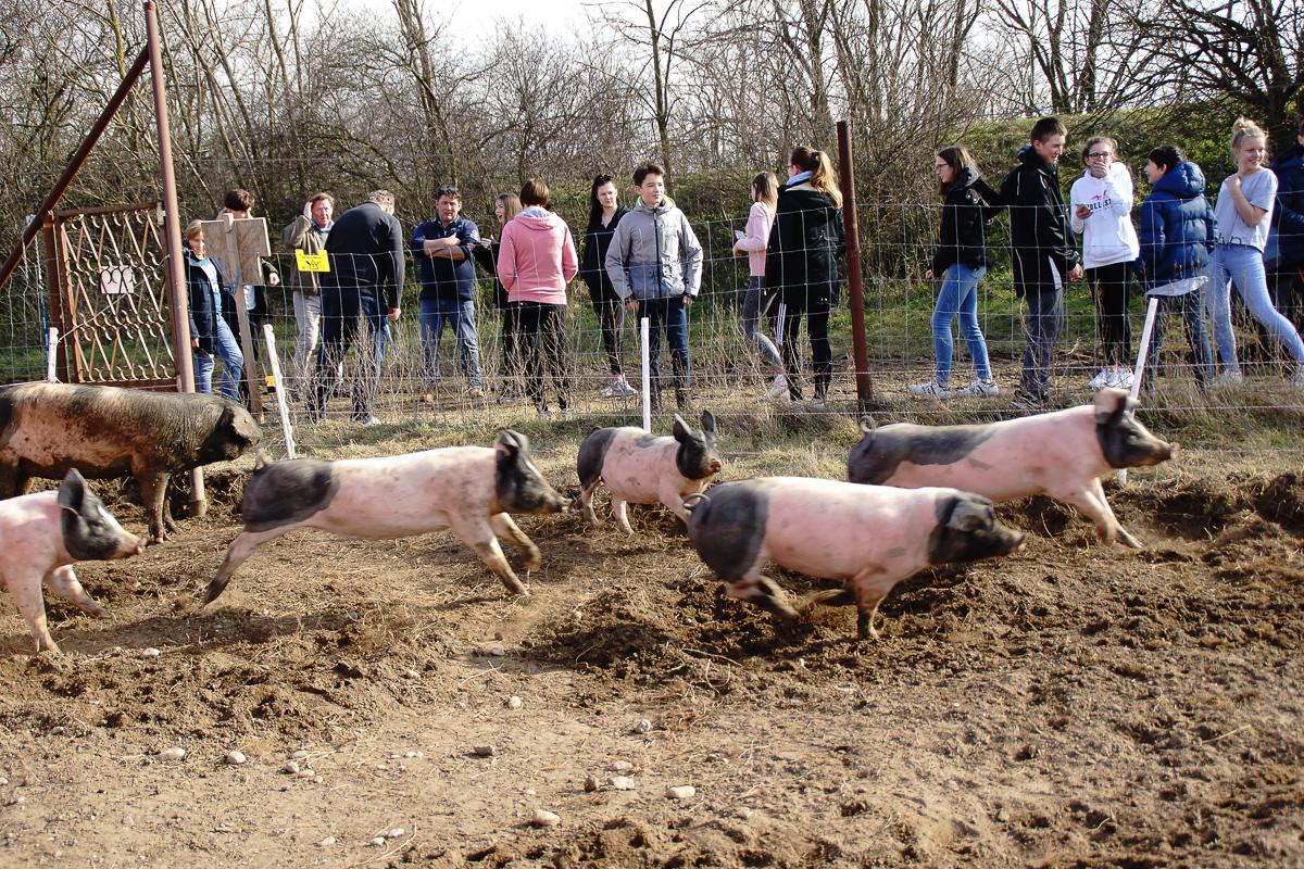 Biohof Hubicek Führung Schweine 22