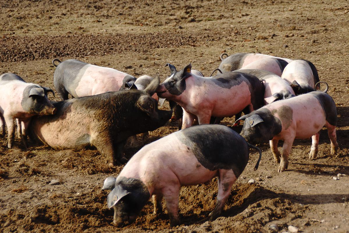 Biohof Hubicek Führung Schweine 26