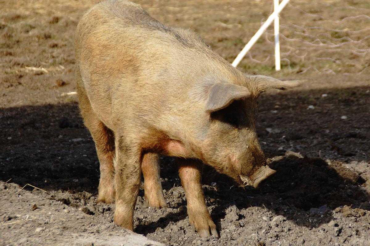 Biohof Hubicek Führung Schweine 27