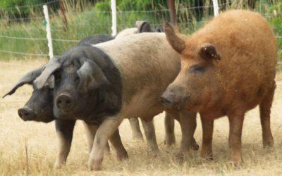 Schweineprogramme im Vergleich